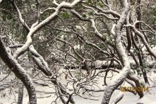 snowy-branches